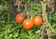 Sluit omhoog op phytophtora infestans is een oomycete die de ernstige die tomatenziekte veroorzaakt als recente vloek wordt beken stock fotografie