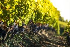 Sluit omhoog op rode zwarte druiven in een wijngaard, het concept van de druivenoogst stock foto's