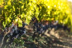 Sluit omhoog op rode zwarte druiven in een wijngaard, het concept van de druivenoogst stock afbeelding