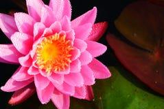 Sluit omhoog op roze lotusbloem Stock Foto