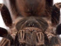 Sluit omhoog op tarantula'sogen stock foto's