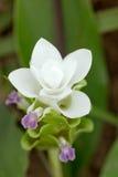 Sluit omhoog op witte de tulpenbloem van Siam die zeldzaam col. Stock Afbeelding
