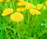 Sluit omhoog open plek van paardebloemen groen gras stock foto
