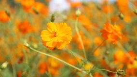 Sluit omhoog oranje Kosmosbloemen stock video