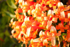Sluit omhoog Oranje trompet, Vlambloem, Fire-cracker wijnstok Stock Fotografie