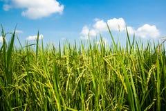 Sluit omhoog organische padievelden met mooie blauwe hemelachtergrond in plattelandslandschap van Thailand stock foto's