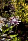 Sluit omhoog osteospermumbloem stock afbeeldingen