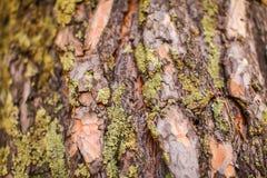 Sluit omhoog Oude Boomoppervlakte voor achtergrondafbeelding macrobeeld van schorstextuur met mos en barsten stock foto's