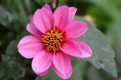 Sluit omhoog overheadkosten van briljante roze dahlia in tuin het plaatsen stock foto