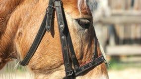 Sluit omhoog paard met teugel in openlucht stock footage