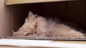 Sluit omhoog Perzisch katten grappig gezicht stock footage