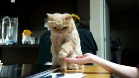 Sluit omhoog Perzische kat het schudden hand met mensen stock footage