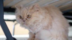 Sluit omhoog Perzische kattenzitting onder bed stock video