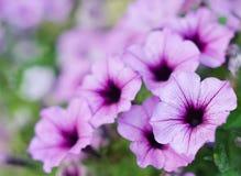 Sluit omhoog petunia Surfinia Royalty-vrije Stock Foto