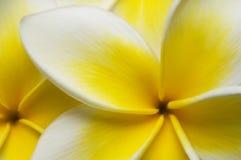 Sluit omhoog Plumeria Royalty-vrije Stock Afbeeldingen
