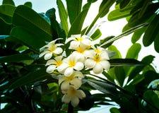 Sluit omhoog plumeriabloemen met mooie zonlichtachtergrond in de tuin bij de lokale toevlucht in het platteland van Thailand Stock Foto's