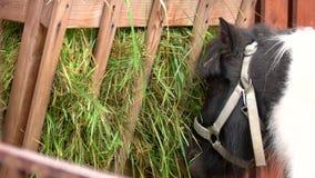 Sluit omhoog poney die gras in stal eten stock video