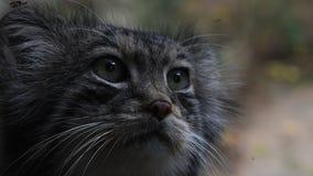 Sluit omhoog portret van de kat van manulpallas stock videobeelden