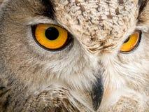 Sluit omhoog portret van een bubo van Bubo van de adelaarsuil met gele ogen stock foto