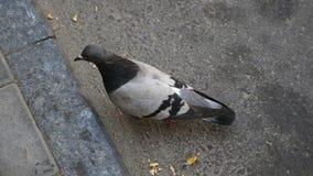 Sluit omhoog portret van een duif openlucht stock footage