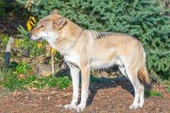 Sluit omhoog portret van een grijze die wolf Canis Lupus ook als Tim wordt bekend royalty-vrije stock fotografie