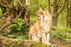 Sluit omhoog portret van Europese Lynx zitting en het rusten in de lentelandschap in natuurlijke boshabitat, het leven in bossen, stock afbeelding