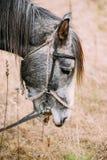 Sluit omhoog Portret van Gray Horse royalty-vrije stock fotografie