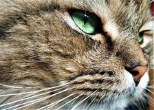 Sluit omhoog portret van groen-eyed katten Siberisch ras stock fotografie