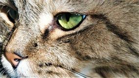 Sluit omhoog portret van groen-eyed katten Siberisch ras stock afbeeldingen
