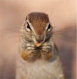 Sluit omhoog portret van groudeekhoorn Royalty-vrije Stock Foto