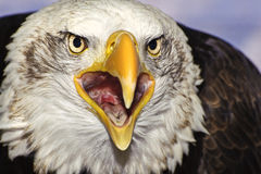 Sluit omhoog portret van het Amerikaanse kale adelaar squawking Royalty-vrije Stock Foto