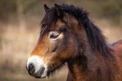 Sluit omhoog portret van hoofd van wild paarden, exmoorponey het weiden in Podyji royalty-vrije stock foto