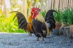 Sluit omhoog portret van kleine kippen, Mooie kleurrijke haan Royalty-vrije Stock Foto's