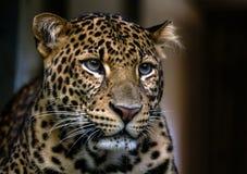 Sluit omhoog portret van luipaard Stock Afbeeldingen