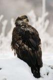 Sluit omhoog Portret van Onrijp Kaal Eagle Royalty-vrije Stock Foto's