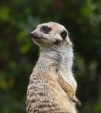 Sluit omhoog portret van suricate (meercat) Stock Afbeelding