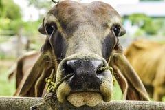 Sluit omhoog Portret van witte en bruine koe en dierlijk rood kalfskind op groene achtergrond koeien die zich op de grond met lan Stock Fotografie