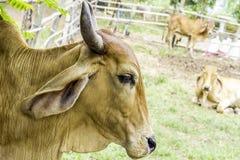 Sluit omhoog Portret van witte en bruine koe en dierlijk rood kalfskind op groene achtergrond koeien die zich op de grond met lan Stock Foto's