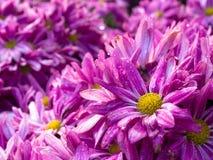 Sluit omhoog Purpere bloemen met natte bloemblaadjes Stock Afbeeldingen