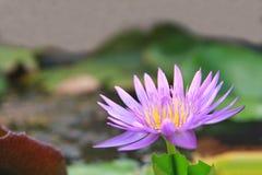 Sluit omhoog Purpere lotusbloem Royalty-vrije Stock Foto
