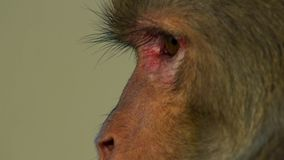 Sluit omhoog Resusaap macaques gezicht, Jaipur in India stock foto's