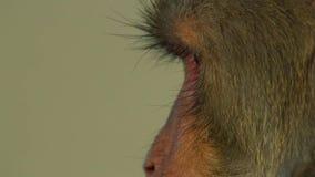 Sluit omhoog Resusaap macaques gezicht, Jaipur in India royalty-vrije stock afbeeldingen