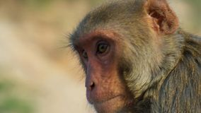 Sluit omhoog Resusaap macaques gezicht, Jaipur in India royalty-vrije stock afbeelding