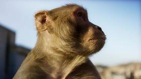 Sluit omhoog Resusaap macaques gezicht, Jaipur in India stock foto