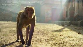 Sluit omhoog Resusaap macaques gezicht, Jaipur in India stock afbeeldingen
