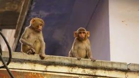 Sluit omhoog Resusaap macaques gezicht, Jaipur in India royalty-vrije stock foto's