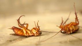 Sluit omhoog reusachtige kakkerlakkendoden op de vloer buiten stock afbeeldingen