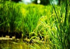 Sluit omhoog rijst, voedselinstallatie het groeien in het organische landbouwbedrijf in het platteland royalty-vrije stock afbeeldingen