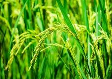 Sluit omhoog rijst, voedselinstallatie het groeien in het organische landbouwbedrijf in het platteland royalty-vrije stock foto's