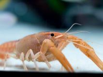 Sluit omhoog rivierkreeften in het aquarium royalty-vrije stock afbeelding